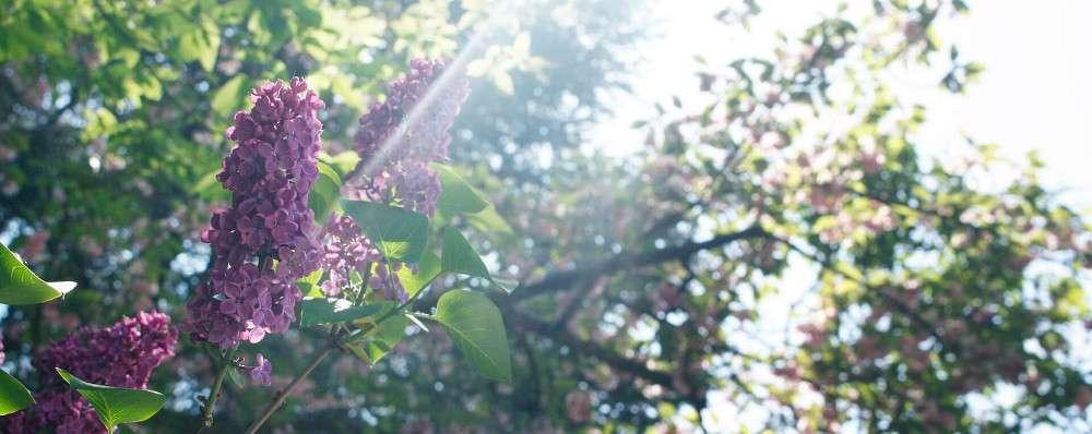 Garten-Gestaltung Symbolbild: Sonne und Flieder-Blüte